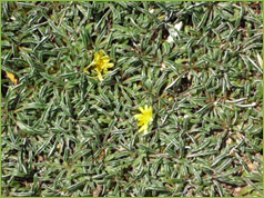 Valley growers nursery inc plant gallery classification ground cover perennial description forms a tight mat 2 3 in high deep grayish green leaves flower summer flowers are yellow mightylinksfo