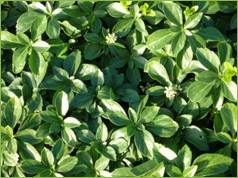 Valley growers nursery inc plant gallery classification ground cover perennial description 8 12 in high evergreen leaves are shiny dark green flower small white flowers are borne in 1 2 mightylinksfo