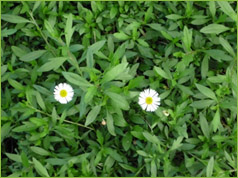 Valley growers nursery inc plant gallery classification perennial ground cover description trailing plant 10 20in high 3ft wide leaves 1 in long flower white or pinkish mightylinksfo
