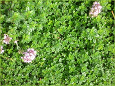 Valley growers nursery inc plant gallery classification ground cover shrubby perennials description small heavily scented leaves prostrate mat forming flower masses of small pink flowers mightylinksfo